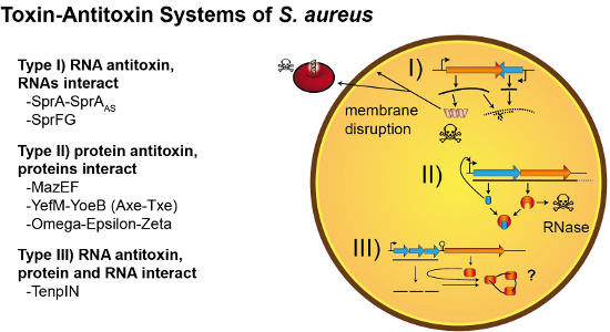 Cover image Staphylococcus aureus toxin-antitoxin systems